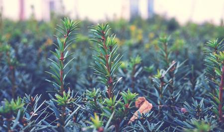 Coniferous shrub