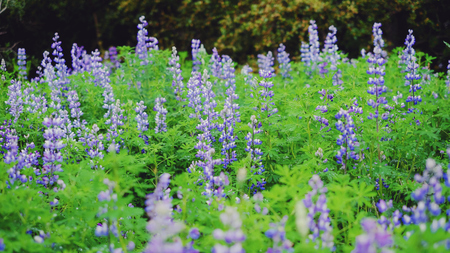 Lupins and woods blue, spring, wild summer Stock Photo