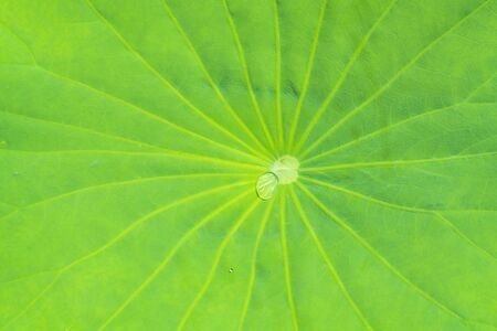 Green lotus leaf