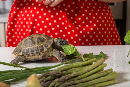 Cute tortoise feasting on salad Stock Photo