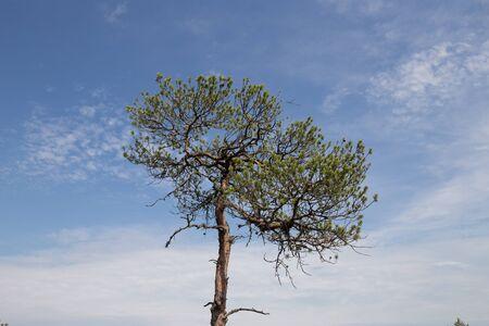 Pine tree in swamp