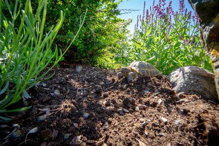 Russian tortoise exploring garden Stock Photo