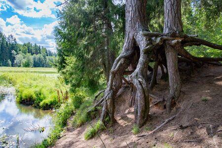 Old Devils tree near river