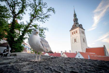 Seagull in Tallinn old town