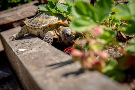 Russian tortoise eating strawberry Stock Photo