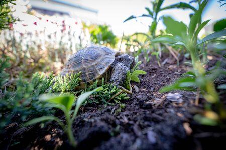 Russian tortoise pulling himself inside shell Stock Photo