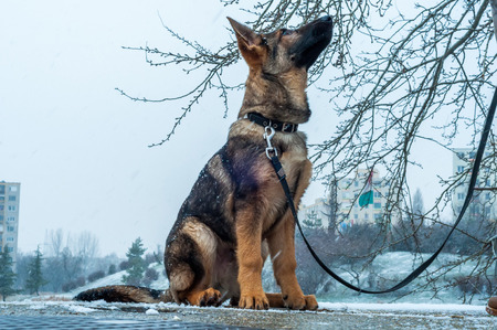 A german shepherd puppy dog on a leash in winter urban environment with snowfall 스톡 콘텐츠