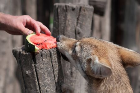 Young european grey wolf puppy feeding and eating watermelon.