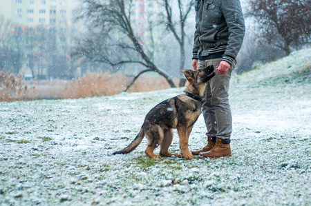 A german shepherd puppy walked by his owner in winter environment with snowfall