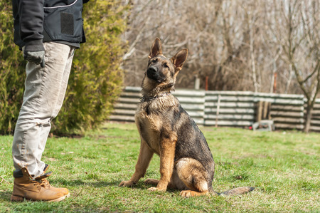 A german shepherd puppy trained by a dog trainer in a green environment at a sunny springtime.
