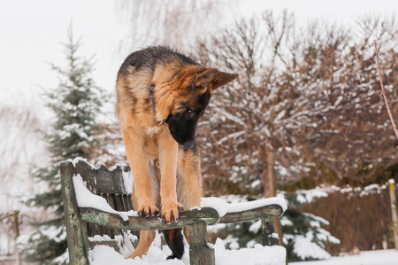A beautiful playful german shepherd puppy dog standing on a wooden bench at winter.
