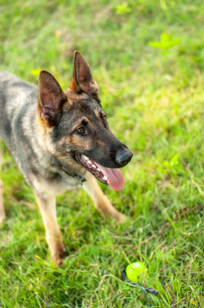 A beautiful German Shepherd dog standing on the green grass while holding a ball on a sunny day.