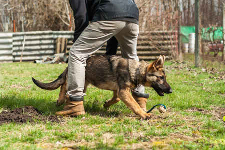 A german shepherd puppy trained by a dog trainer with a ball in a green environment at a sunny springtime. Reklamní fotografie