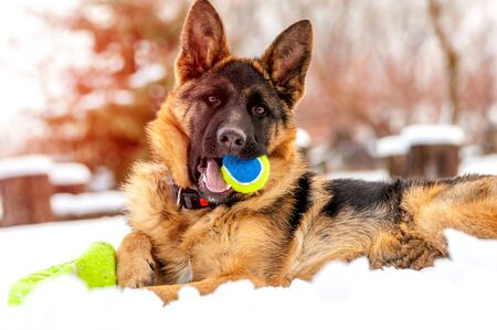 A beautiful playful german shepherd puppy dog playing with a tennis ball at winter in the snow.