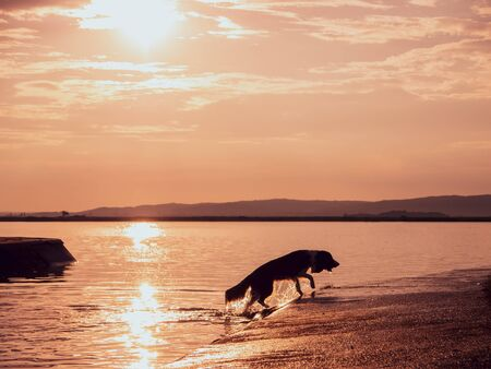 A dog running out of a lake during the sunset on a summer day.