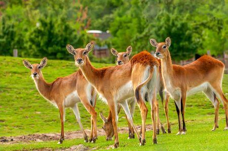Ver en un grupo de lechwe del sur en un zoológico en un día soleado. Foto de archivo