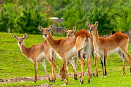 View on a group of southern lechwe in a zoo on a sunny day. Banque d'images