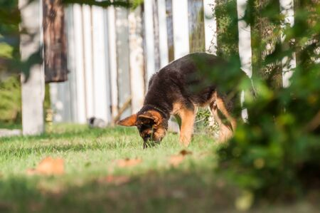 A cute german shepherd puppy dog discovering the backyard on a sunny autumn day.