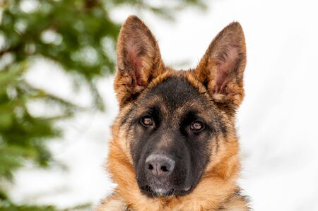 Portrait of a beautiful german shepherd puppy dog at winter.