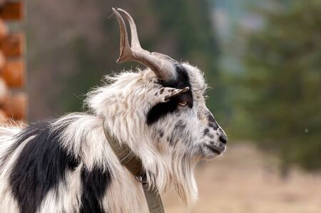 Portrait of a goat on a field of Transylvania, Romania on a cloudy day.