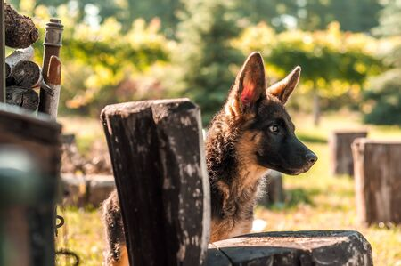 A cute german shepherd puppy dog discovering the backyard on a sunny autumn day. Stock Photo