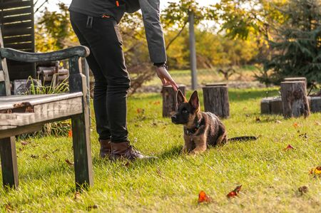 Training of a puppy german shepherd dog on a in a backyard on an autum