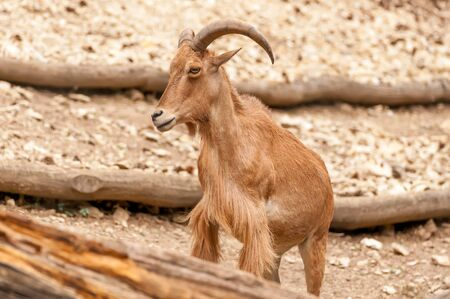 Portrait of a beautiful barbary sheep with big horns in a zoo on a sunny day. Foto de archivo