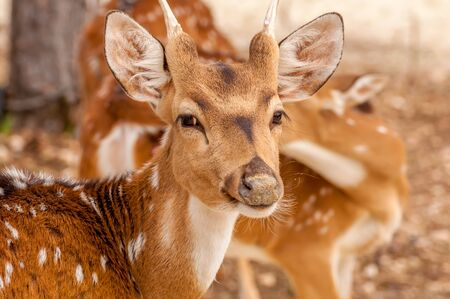 Portrait of a beautiful chital deer in a zoo on a sunny day.
