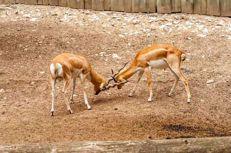 View on two male blackbuck antilope fighting with their horns in a zoo on a sunny day.