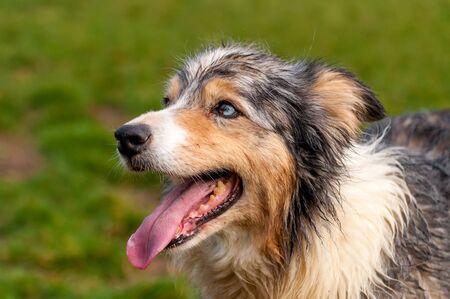 Porträt eines schönen Border-Collie-Hundes in einer grünen Umgebung an einem Frühlingstag.