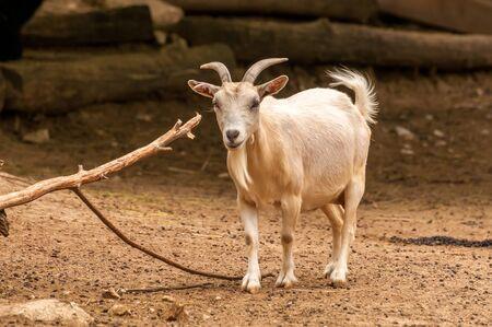 Portrait d'une belle chèvre dans un zoo par une journée ensoleillée.