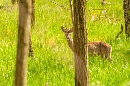 View on a roe deer in the forest on a sunny day.