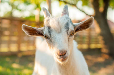 Portrait of a cute goat on a sunny summer day. Banque d'images - 167406939