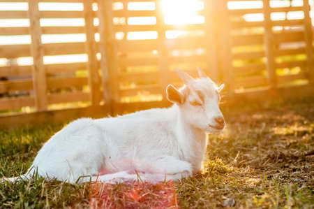 A cute goat is lying on the ground during the sunset on a summer day. Banque d'images - 167406810