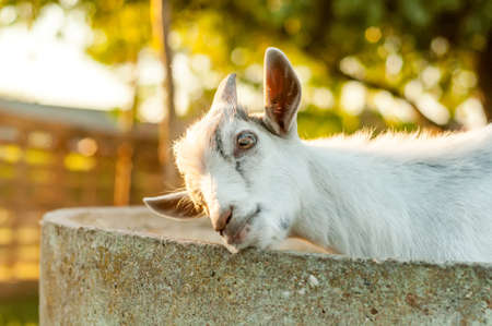 Portrait of a cute goat on a sunny summer day. Banque d'images - 167406811