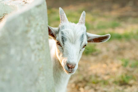 Portrait of a cute goat on a sunny summer day.