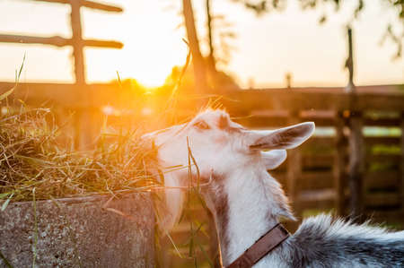 Goats are eating hay on a summer day during sunset