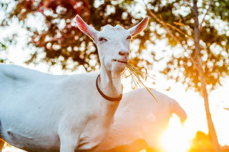 Goats are eating hay on a summer day during sunset Banque d'images - 167406825