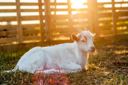 A cute goat is lying on the ground during the sunset on a summer day. Banque d'images - 167406785