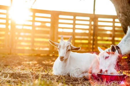 View on the goats on a summer day during the sunset in the backyard.