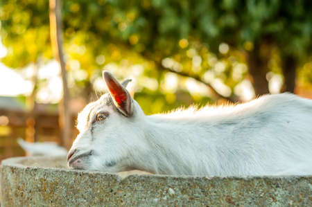 Portrait of a cute goat on a sunny summer day. Banque d'images - 167406788