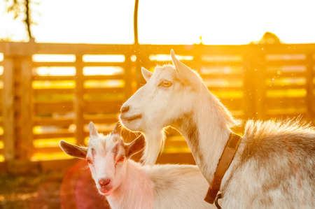 View on the goats on a summer day during the sunset in the backyard. Banque d'images - 167406790