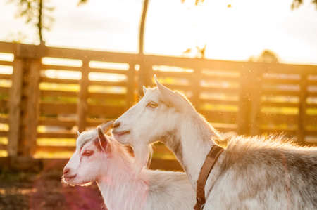 View on the goats on a summer day during the sunset in the backyard. Banque d'images - 167406792