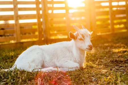 A cute goat is lying on the ground during the sunset on a summer day.