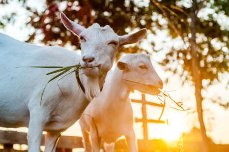 Goats are eating hay on a summer day during sunset Banque d'images - 167406795