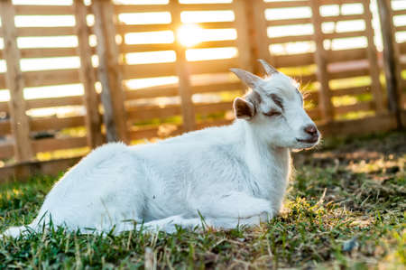 A cute goat is lying on the ground during the sunset on a summer day. Banque d'images - 167406797