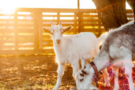 View on the goats on a summer day during the sunset in the backyard. Banque d'images - 167406798