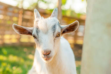Portrait of a cute goat on a sunny summer day. Banque d'images - 167406803