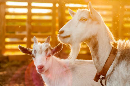 View on the goats on a summer day during the sunset in the backyard. Banque d'images - 167406739