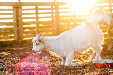 View on the goats on a summer day during the sunset in the backyard. Banque d'images - 167406740